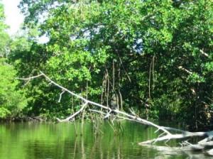 kajaktour-sanibel mongroven