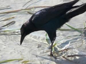 schwarzer Vogel am Strand