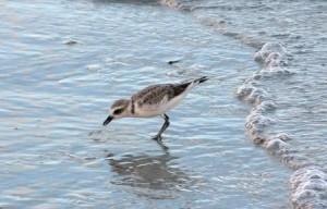 Strandvogel